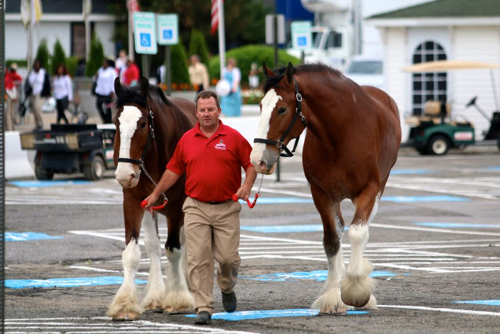 When I arrived at Pimlico on Saturday morning, I was greeted by the wonderful sight of two Budweiser Clydesdales strolling around the parking lot with their handler. (Penelope P. Miller/America's Best Racing)
