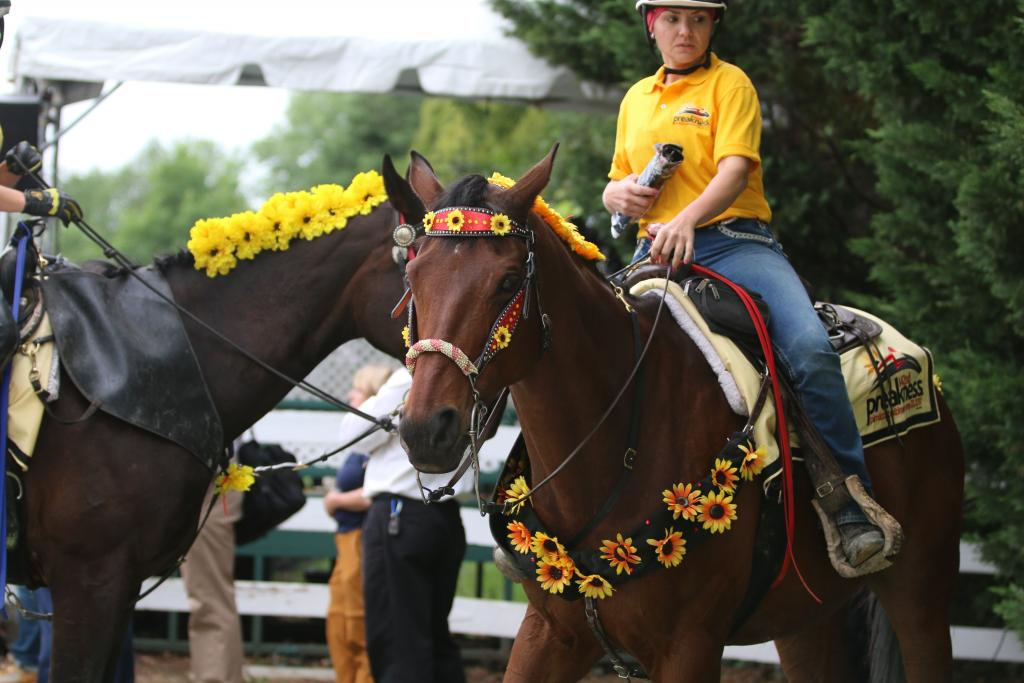I hustled to the stakes barn where the Preakness contenders were waiting to walk to the saddling paddock. Escort ponies were standing by, decorated magnificently to celebrate the middle jewel of the Triple Crown. (Penelope P. Miller/America's Best Racing)