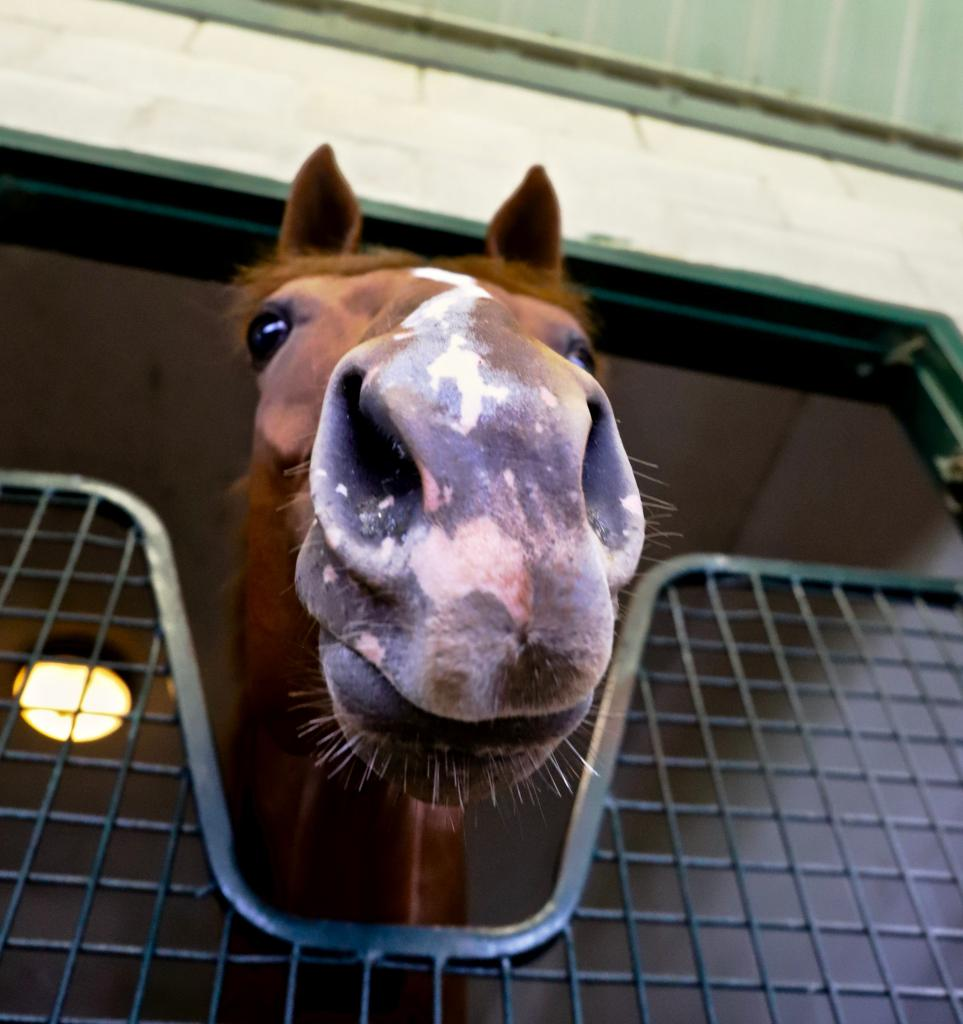 Back in the barn, Got Stormy shows off her famously freckled nose. (Penelope P. Miller/America's Best Racing)