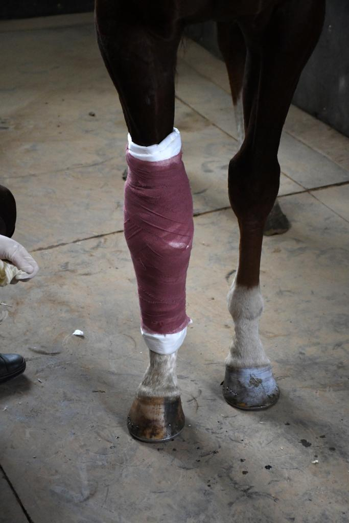 There are multiple layers that go on the bandage. The vet wrap holds the cotton in place.  (Melissa Bauer-Herzog/America's Best Racing)