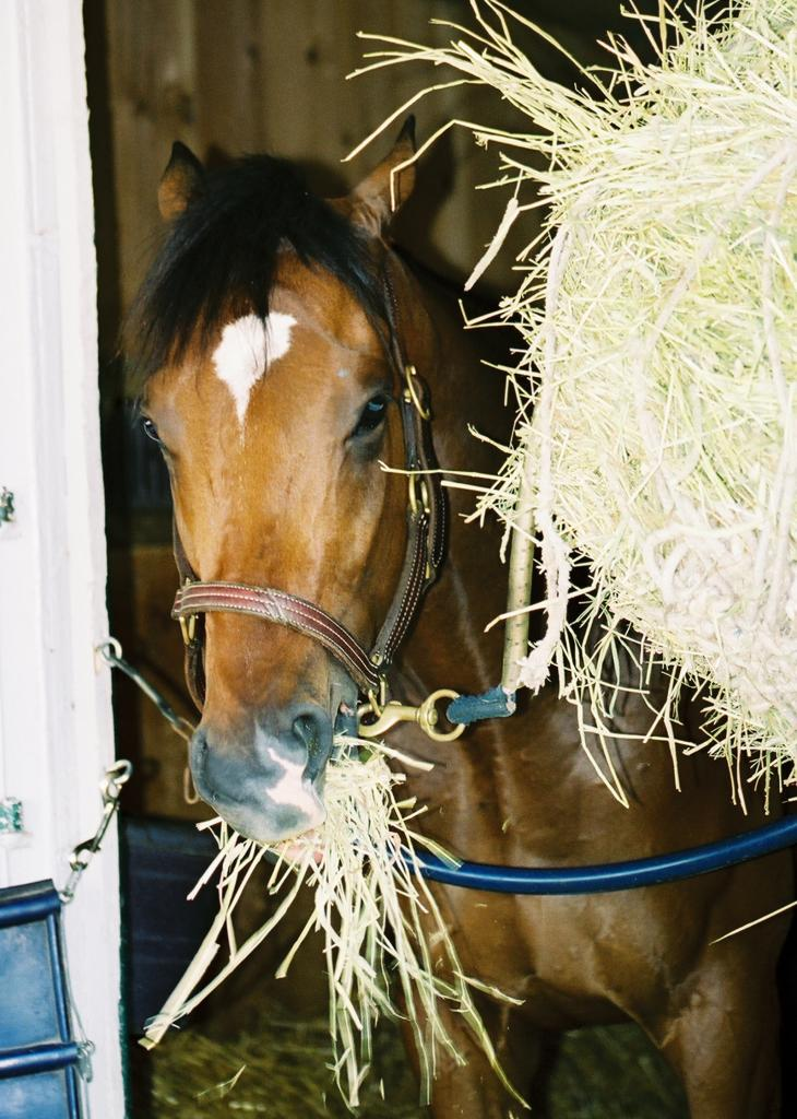Barbaro munching happily on some hay in his stall. (Carrie Curry photo)