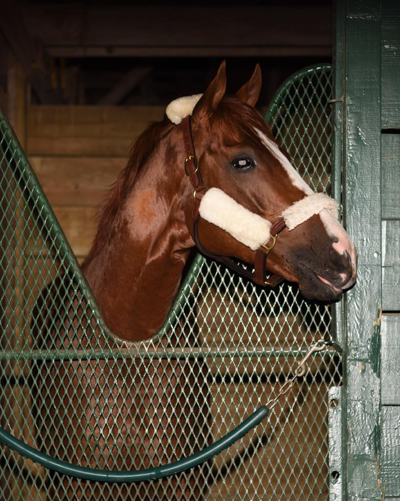 California Chrome settles into his stall at Gulfstream. (Leslie Martin/Gulfstream Park)