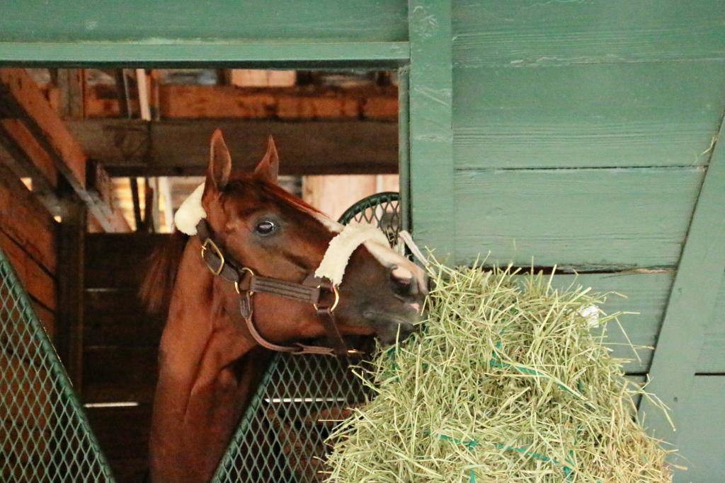 California Chrome watches as his team packs up after the Pegasus World Cup. (Julie June Stewart photo)