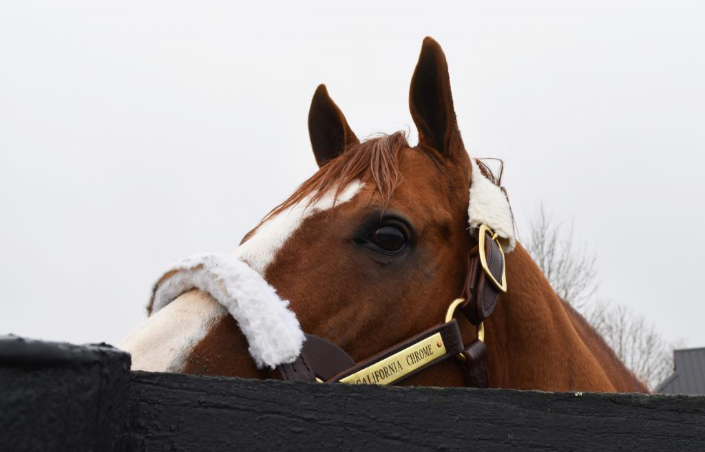 California Chrome eyes visitors to his paddock at Taylor Made. (Christina C. Moore photo)