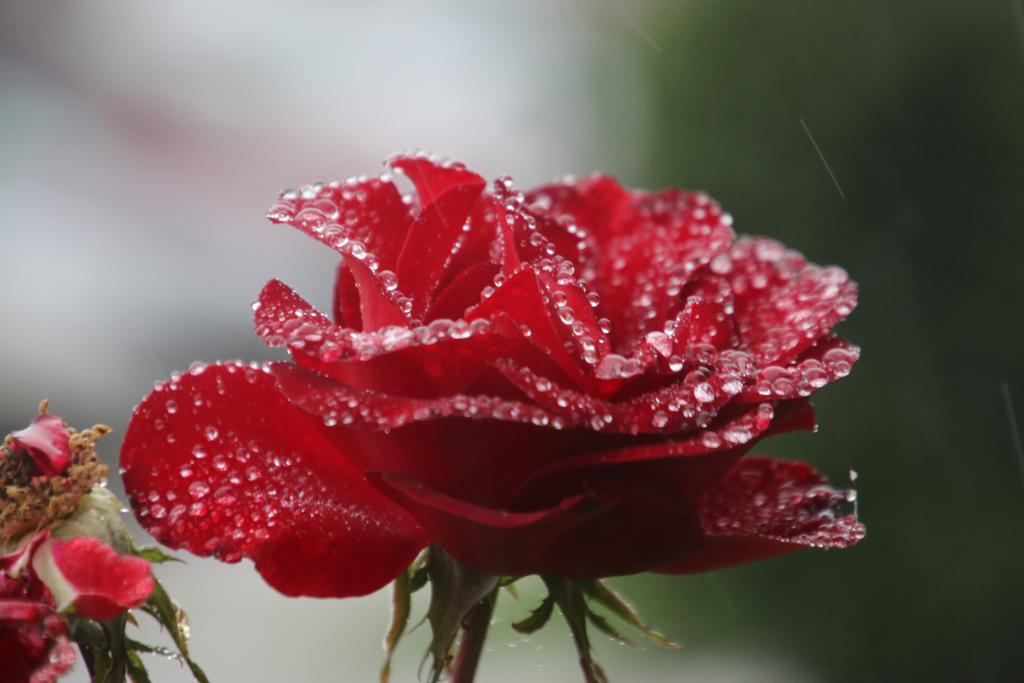 Rose at Portland Meadows in the rain. (Julie June Stewart photo)