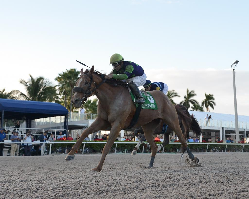 Multiple graded stakes winner War Story (Bob Coglianese/Gulfstream Park)