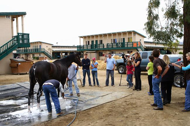 Zenyatta is surrounded by fans as she takes a bath at Del Mar. (Eclipse Sportswire)
