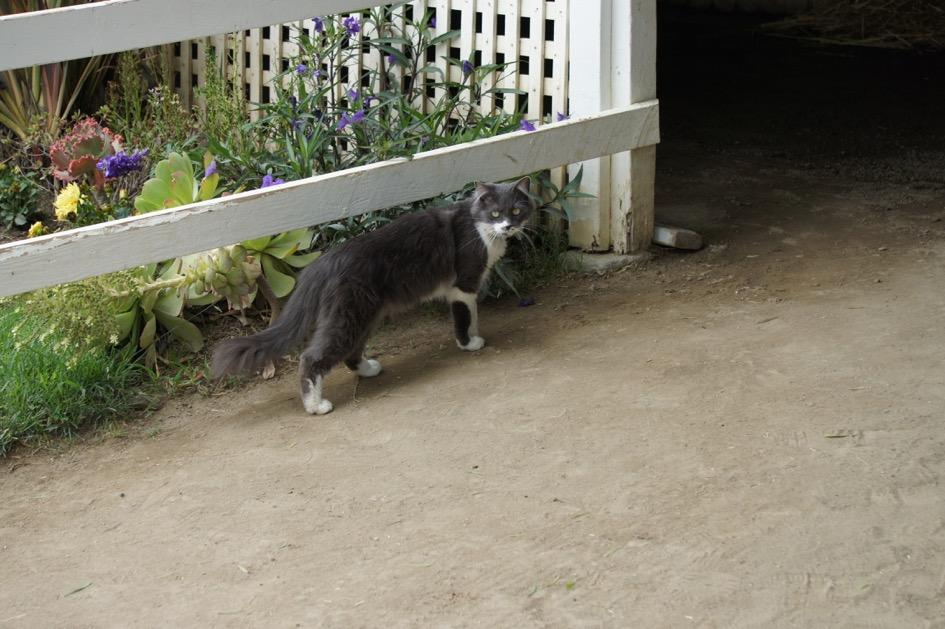 The barn cat did not appreciate the uproar. (Cynthia Holt photo)