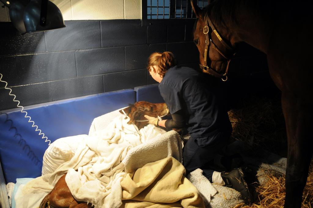 A foal in the Hagyard NICU with mare. (Courtesy of Hagyard Equine Medical Institute.)