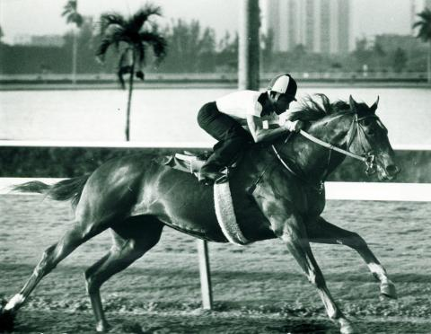 Alydar at Gulfstream Park in 1978.