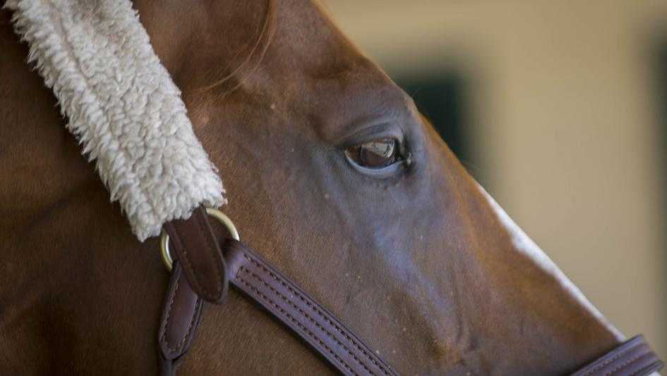 Two-Time Horse of the Year California Chrome Arrives in Japan