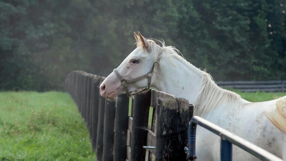 Meet the Flashy White Thoroughbreds at Megson Farms