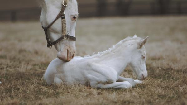 Rare White Foal a Patchen Wilkes Specialty