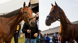 Triple Crown hopeful Justify (right) will try to match American Pharoah's Belmont Stakes win.