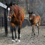 Join the Foal Patrol! New Interactive Series Follows Pregnant Horses