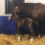 American Pharoah's First Foal Born in Kentucky