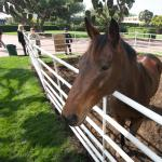 Santa Anita's 'Seabiscuit' Retired to Serve as Hands-On Horse for Autistic Children